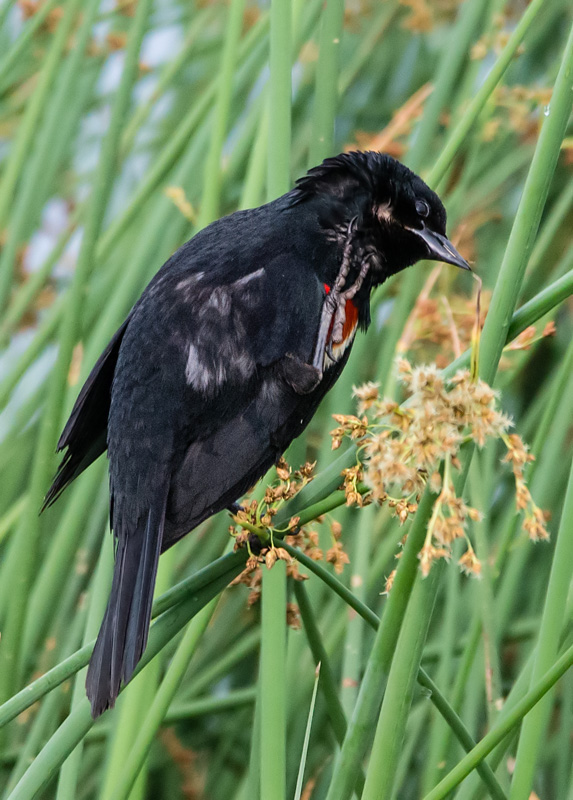 Red Shouldered Blackbird