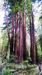 Title: Redwood Group #1