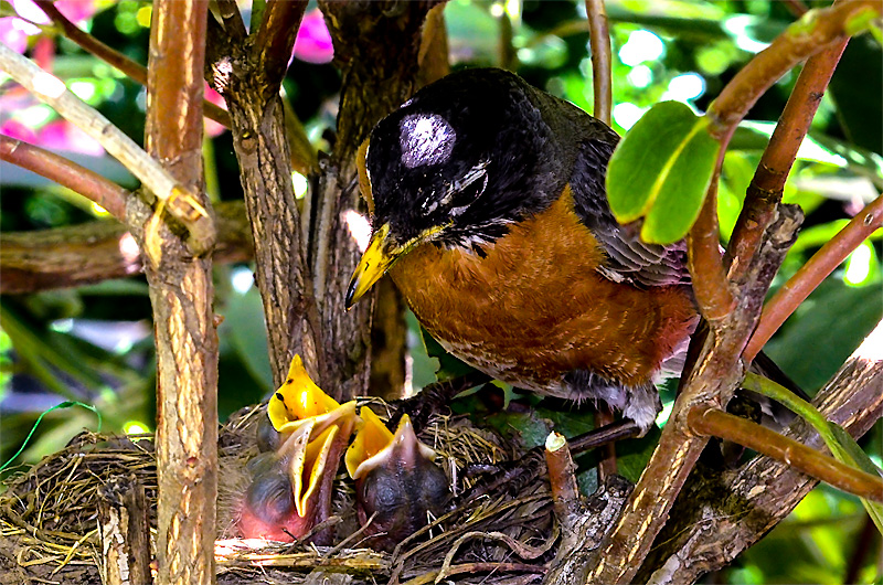 Robin feeding her newly hatched chicks