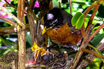 Title: Robin feeding her newly hatched chicks