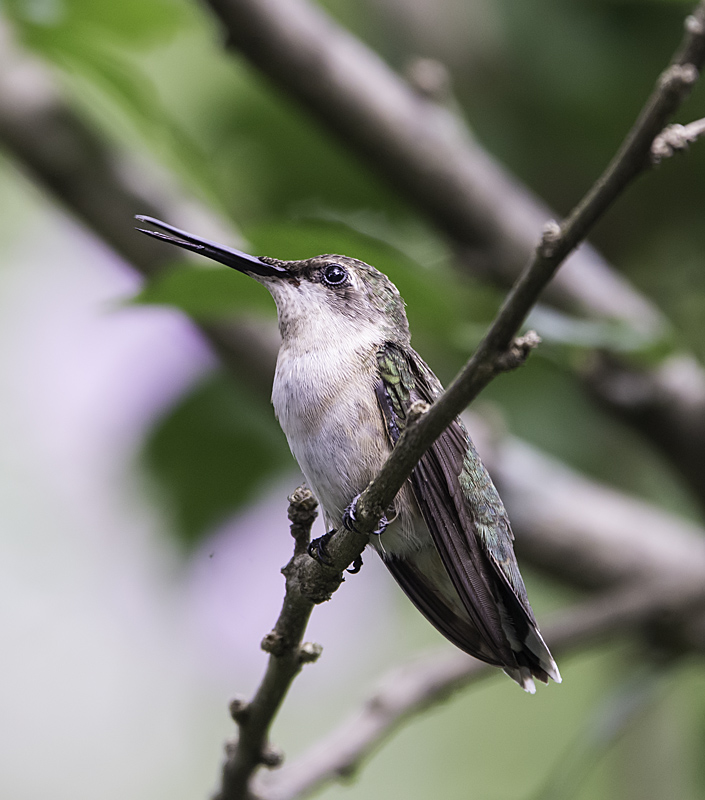 Female Ruby Throated Humming Bird