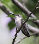 Title: Female Ruby Throated Humming Bird