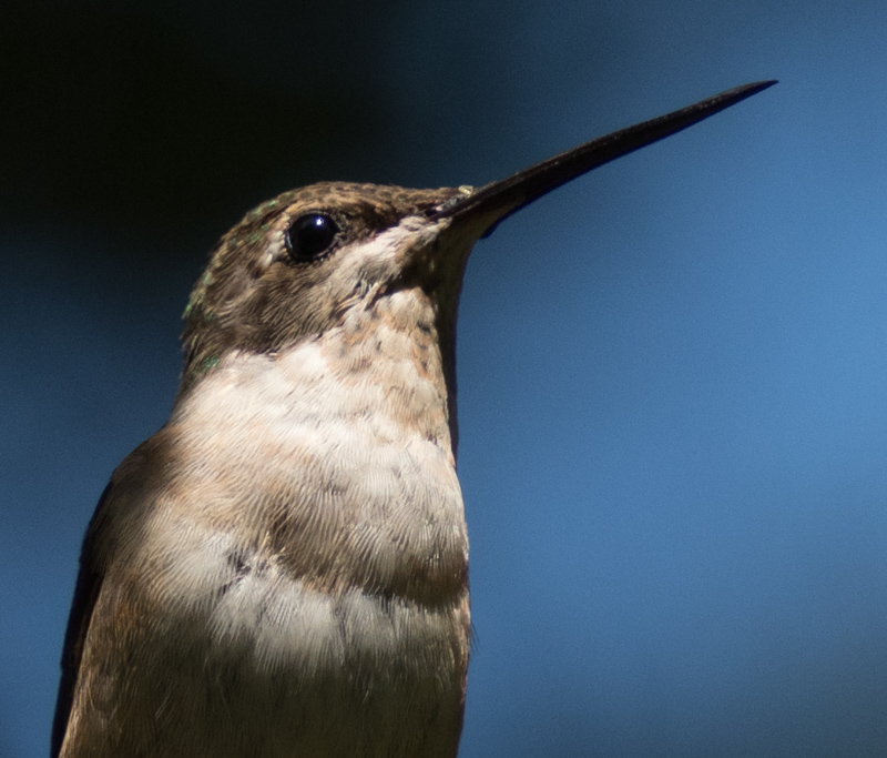 Portrait of a humming bird