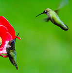 Title: Ruby-throated Hummingbird Pair