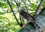 Title: Juvenile Coopers Hawk