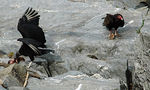 Title: Mature and Young Turkey Vultures