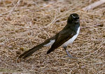 Title: Willie Wagtail