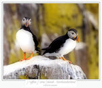 Title: Puffins - Farne Islands - Northumberland