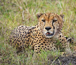 Title: Cheeta at Masai Mara