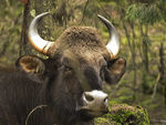 Title: Gaur or Indian Bison