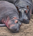 Title: Hippos asleep Camera: Olympus OM D EM1 MkII