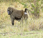 Title: Olive Baboon