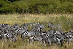 Title: Zebras in the bush