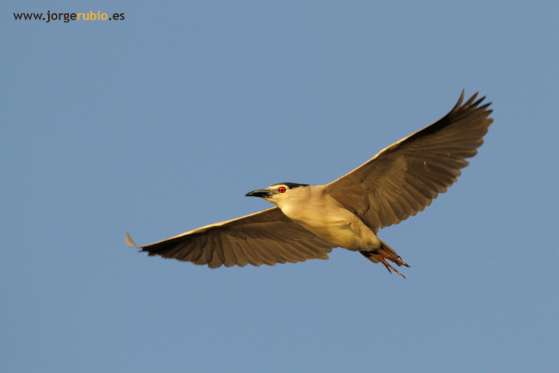 Night Heron - Martinete