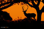 Title: Red deer  (Cervus elaphus)