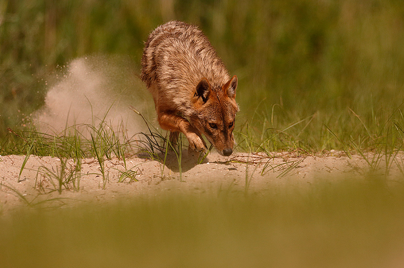 Golden jackal - Chacal Dorado