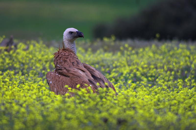 Vulture in land