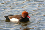 Title: Red-crested Pochard - Pato coloradoCanon350D