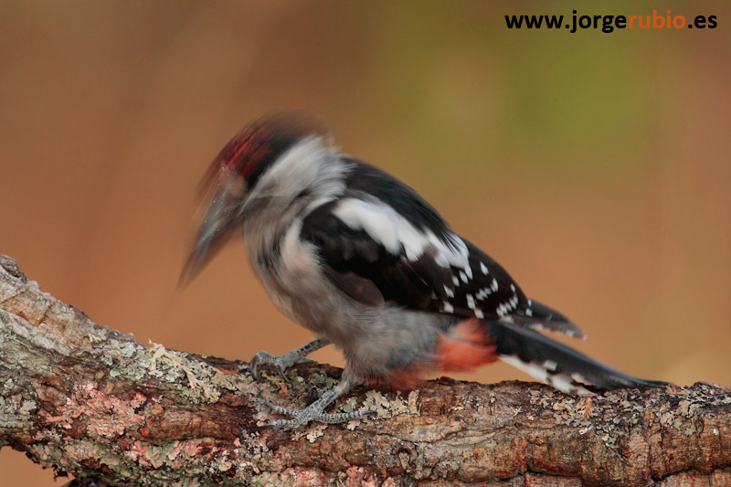 Great Spotted Woodpecker (Dendrocopos ma