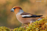 Title: Coccothraustes