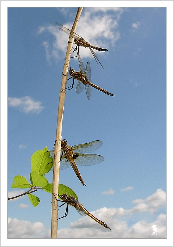 Dragonfly plague