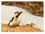 Title: Woodpecker in miniature
