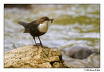 Title: White-throated Dipper