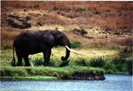 Title: Elephant by Shore
