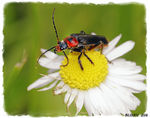 Title: SOLDIER  BEETLE