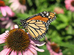 Title: Another Monarch