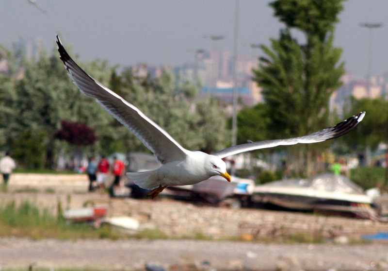 Another Gull Photo
