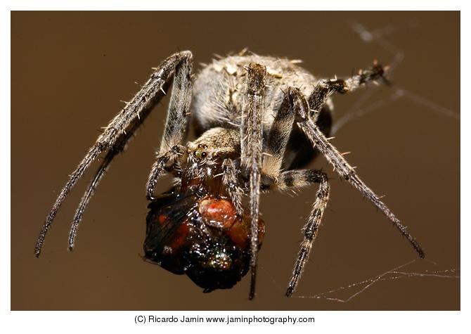 Spider eating a housefly