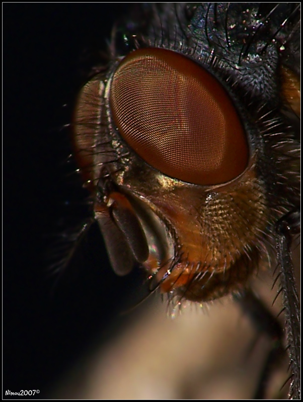 Closeup Fly