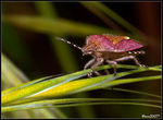 Title: Dolycoris baccarum