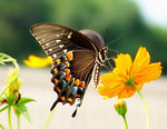 Title: Black Swallowtail 2