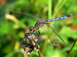 Title: Blue Dasher-male