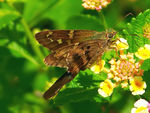 Title: Skipper on Lantana
