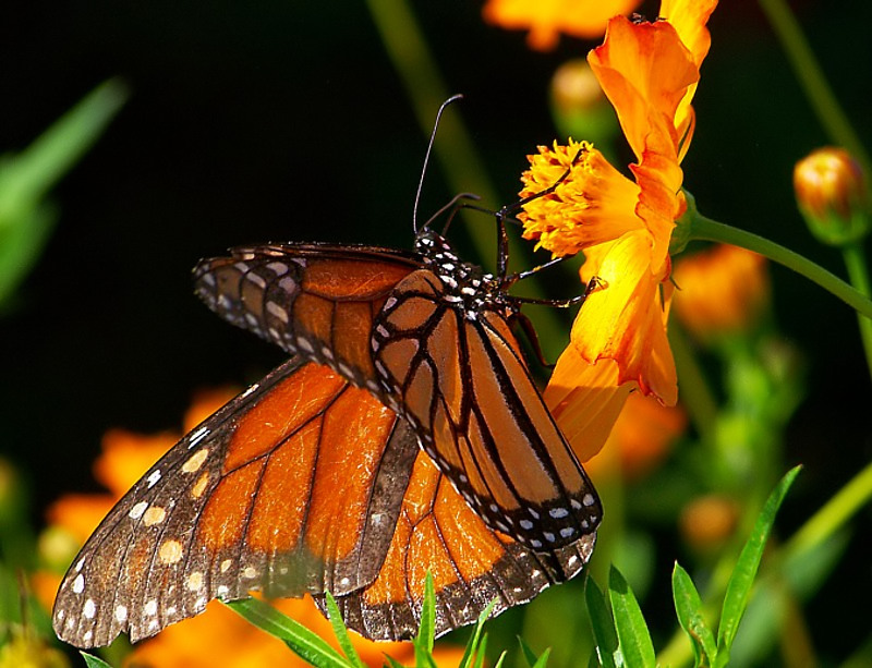 Monarch in the Morning