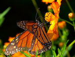 Title: Monarch in the Morning