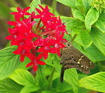 Title: Long-tailed Skipper 2