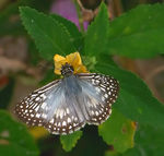 Title: Tropical Checkered-Skipper