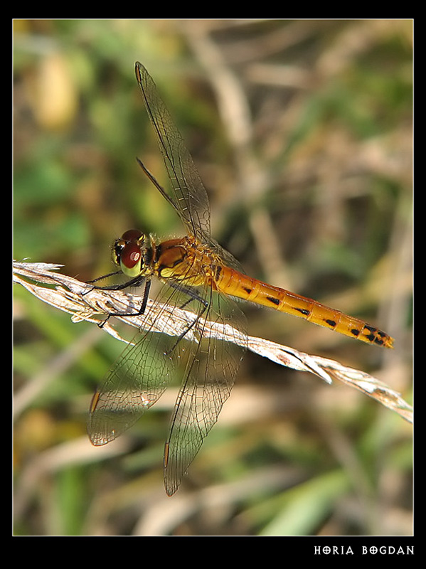 Eurasian Red Dragonfly