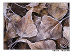 Title: Frosty leaves