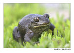 Title: Spadefoot toad