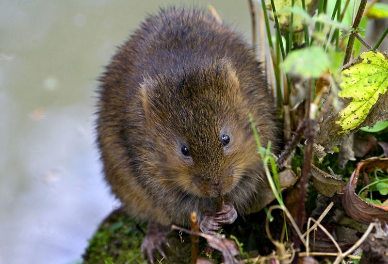 Water Vole for Tony (Gracious)
