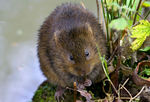 Title: Water Vole for Tony (Gracious)