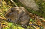 Title: A Sussex Vole