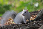 Title: White Squirrel