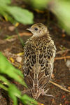 Title: Pheasant Chick