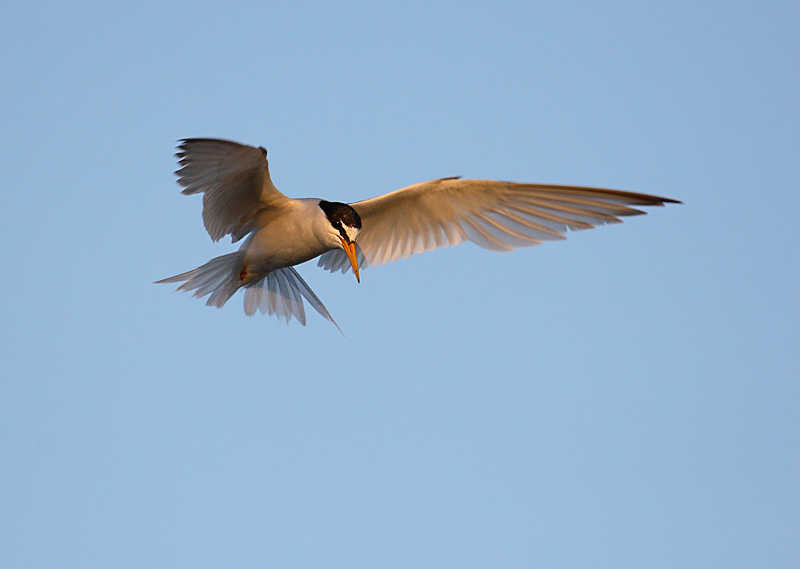 Little tern about to catch a fish